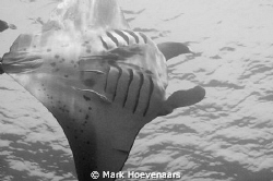 Manta Flyby. Nikon D90, 60mm by Mark Hoevenaars 